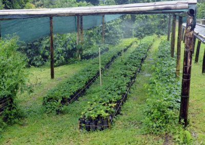 Finca dos Jefes: cultivating baby coffee plants