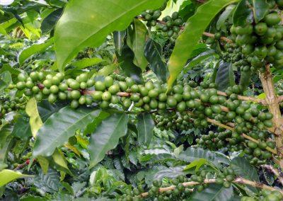 Finca dos Jefes: still green coffee beans