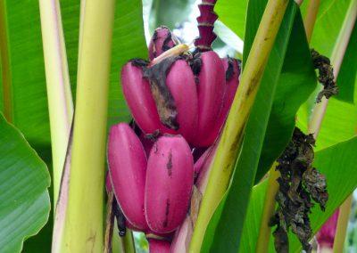 Finca dos Jefes: pink bananas up close