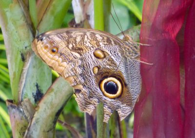 Butterfly Haven: Big owl