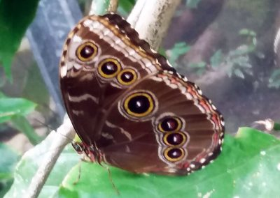 Butterfly Haven: Blue Morpho, closed (7 eyes!)
