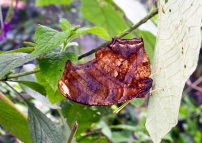 Butterfly Haven: Example of dead-leaf camouflage