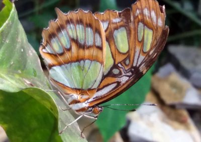 Butterfly Haven: Malachite, closed