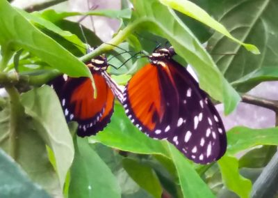 Butterfly Haven: Spotted Longwing