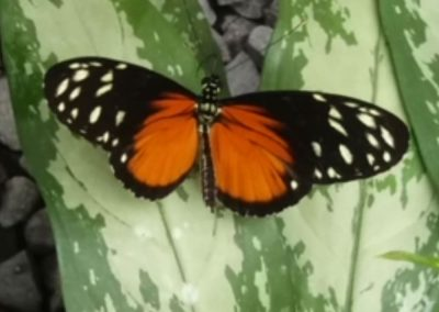 Butterfly Haven: Spotted Longwing, open