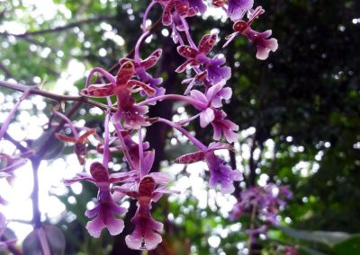 Panama orchid center: false oestedella orchid