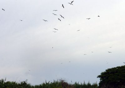 Panama whale watching: flocks of frigate birds